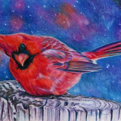 """Cold Cardinal"", 8"" x 10"", colored pencil"